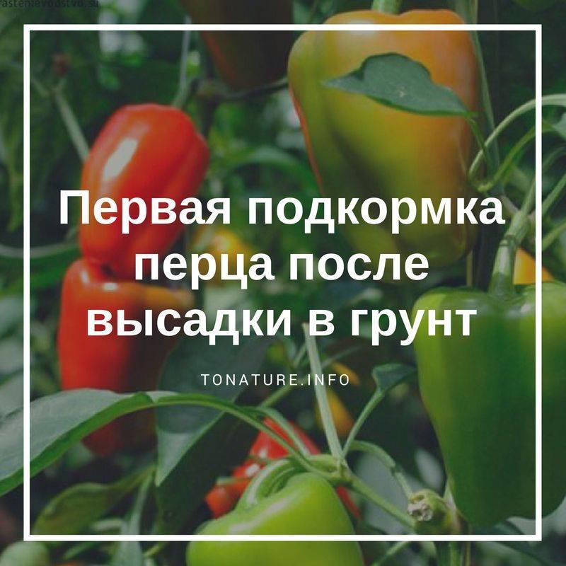 Чем подкормить перец после высадки в теплицу