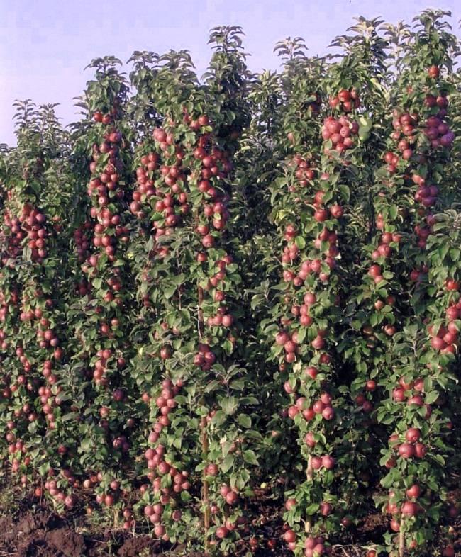 Характеристика и уход за колоновидной яблоней сорта васюган
