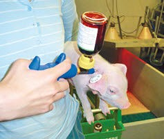 Как и чем кормить свиней: основы кормления, рацион и методы откорма