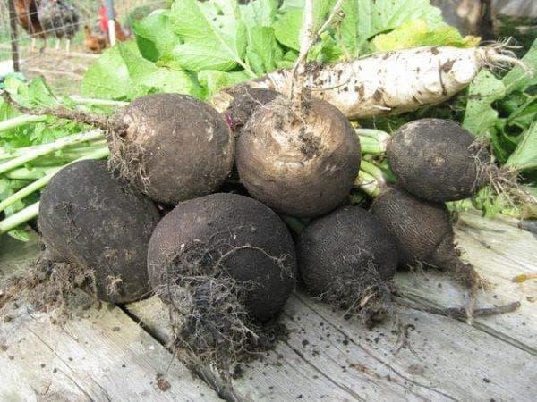 Выращивание редьки: как и когда сажать в открытый грунт семенами