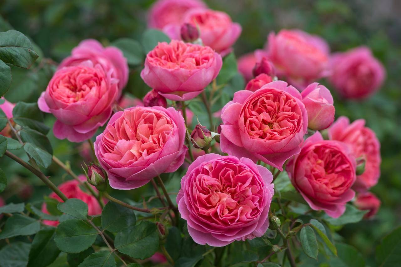 Описание розы сорта Леонардо да Винчи, посадка, выращивание и уход