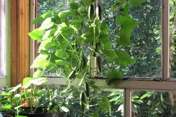 Огурцы на балконе – особенности посадки и выращивания