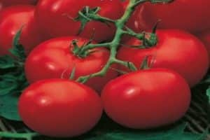 Томат сибирские шаньги: характеристика и описание крупноплодного сорта с фото