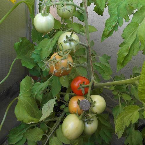 Томат ни забот ни хлопот — описание сорта, урожайность, фото и отзывы садоводов
