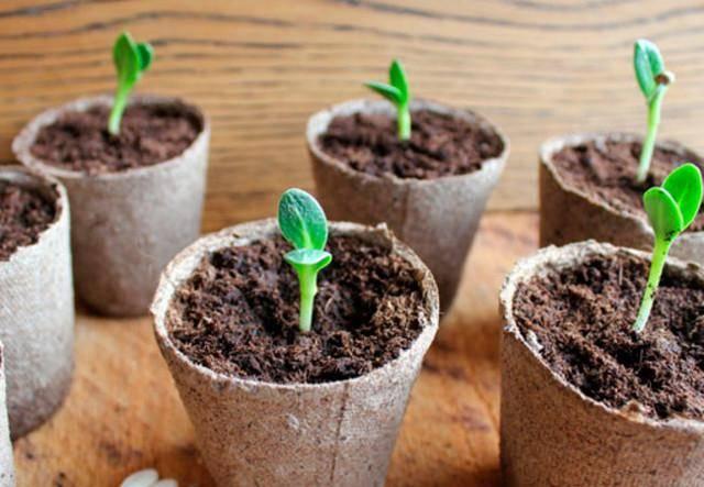 Что случилось с рассадой капусты? 11 самых частых проблем и способы их решения