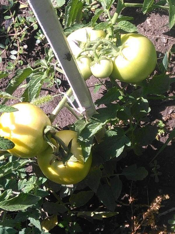 Лонг кипер: советы по культивации и описание позднего томата
