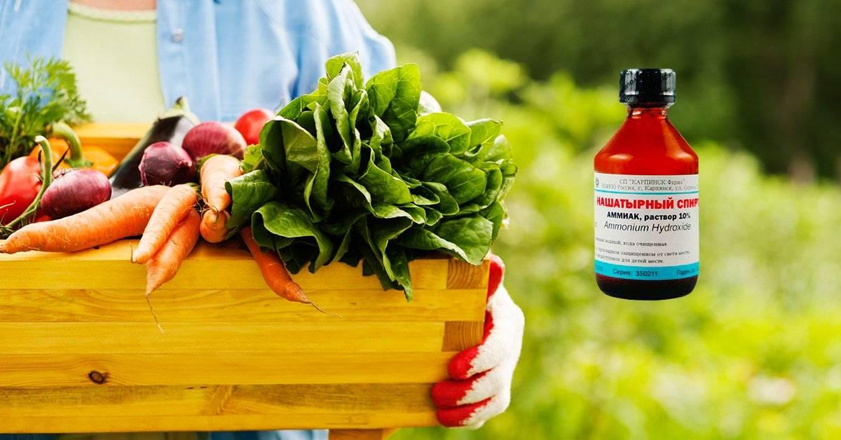 Секреты хорошего урожая: подкормка рассады томатов нашатырным спиртом