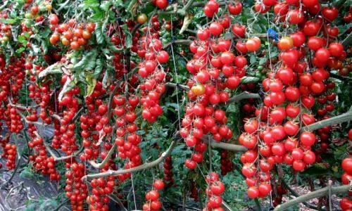 Уникальный, раннеспелый и высокоурожайный сорт томата «рапунцель»: описание, характеристика, посев на рассаду, подкормка, урожайность, фото, видео и самые распространенные болезни томатов