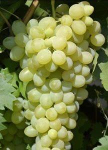 Виноград кишмиш «столетие»