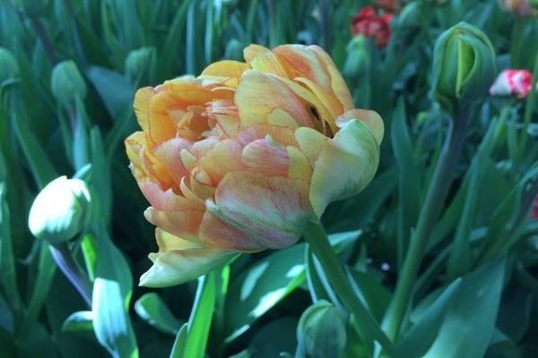 Тюльпаны грейга: характеристика вида и особенности его выращивания