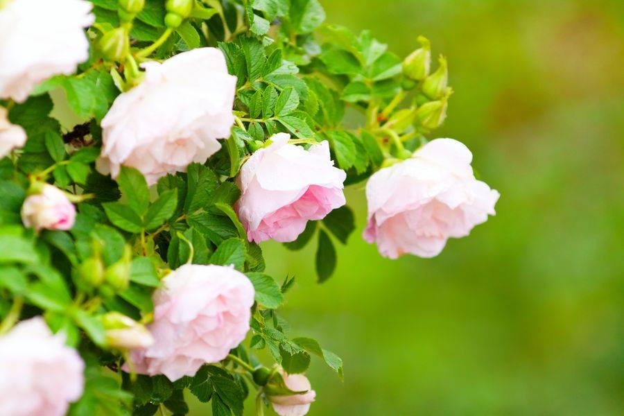 Особенности и описание роз пьер де ронсар