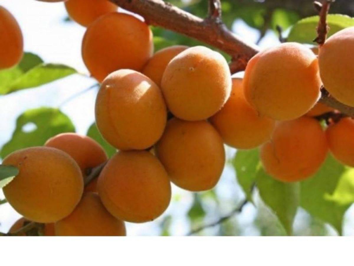 Томат славянский шедевр: характеристика и описание сорта, отзывы садоводов с фото