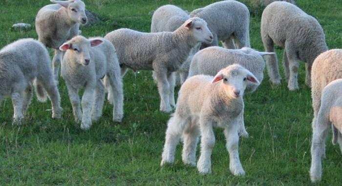 Описание и характеристика овец куйбышевской породы, правила содержания