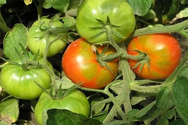 Железная леди: подробное описание и особенности выращивания томата