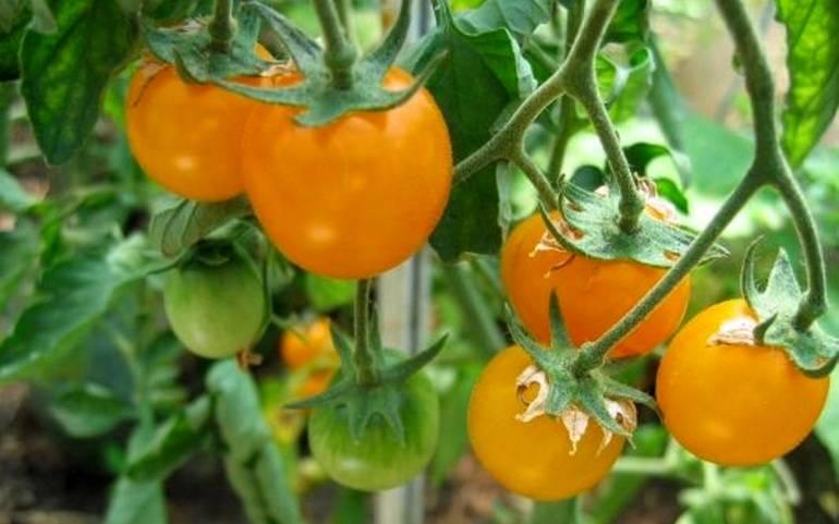 Характеристика и описание сорта томата ЭМ Чемпион, урожайность