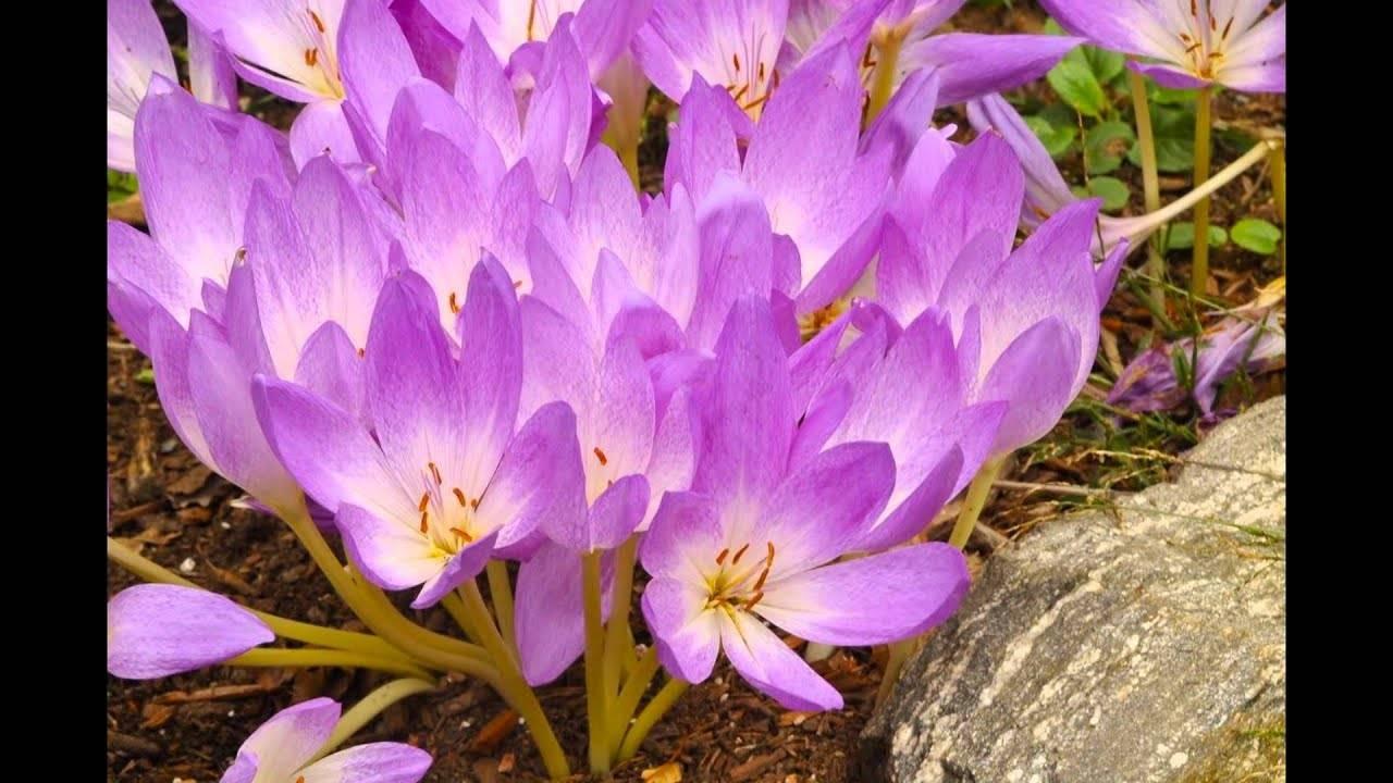 Посадка безвременника и уход за цветами в открытом грунте