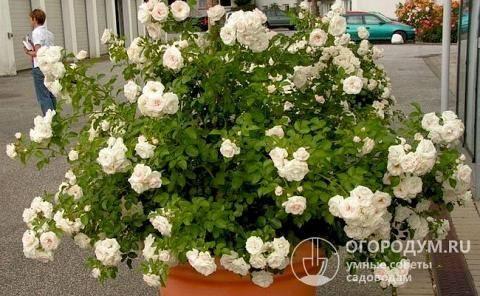 Описание плетистой розы сорта дон жуан, правила посадки и ухода