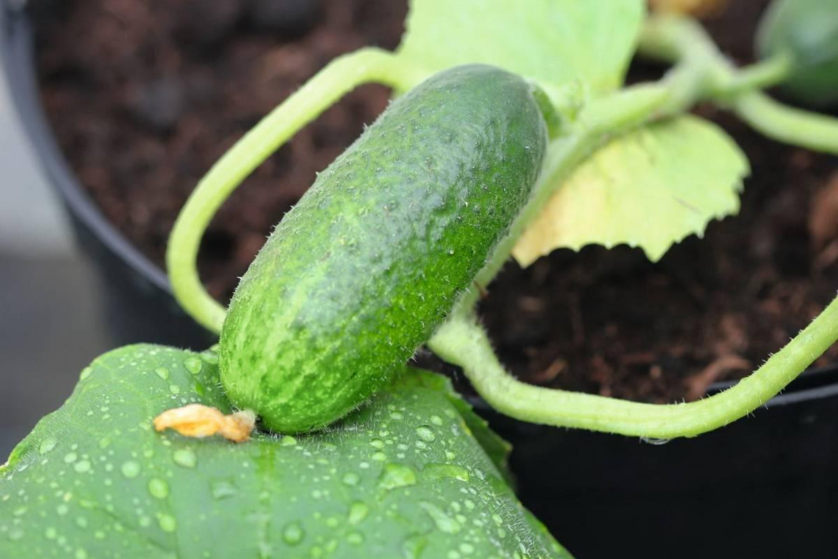 Огурец заначка f1: описание и характеристика сорта, урожайность с фото
