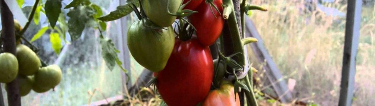 Томаты мазарини: характеристики, особенности выращивания