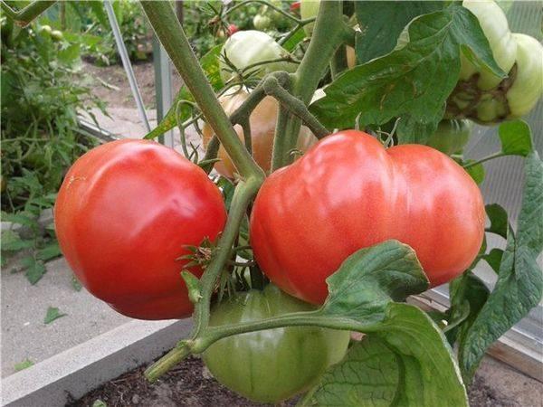 Хотите нереальных урожаев? выбирайте томат сорта «бабушкино» : описание и фото