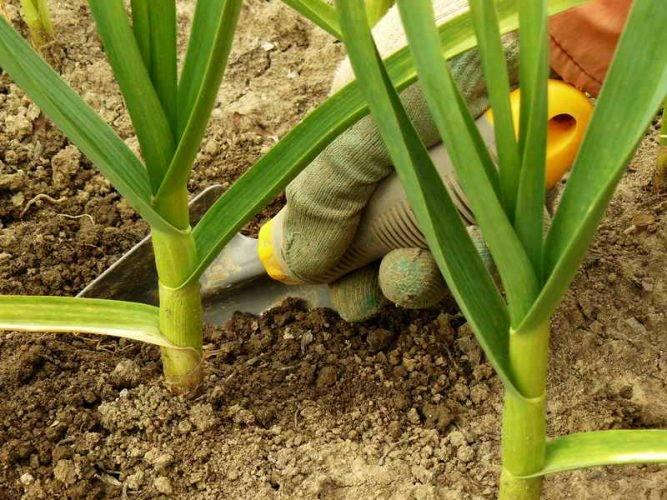 Почему желтеет чеснок – 7 возможных причин