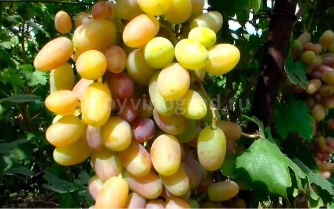Достоинства винограда виктор и особенности его выращивания