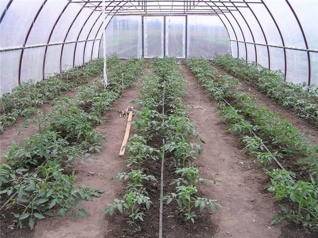 Схема посадки томатов: сколько их посадить в теплице 3х6 м