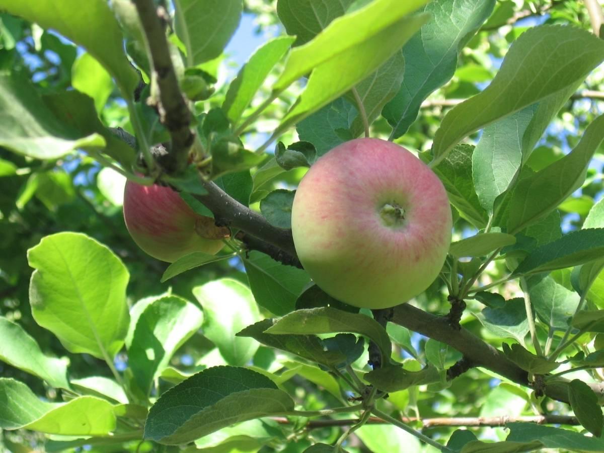 Яблоня ренет черненко