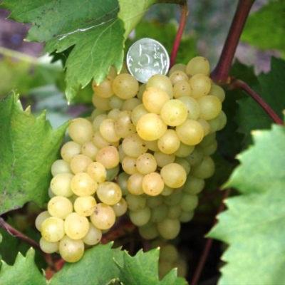 Описание и характеристики сорта винограда аттика и правила выращивания кишмиша
