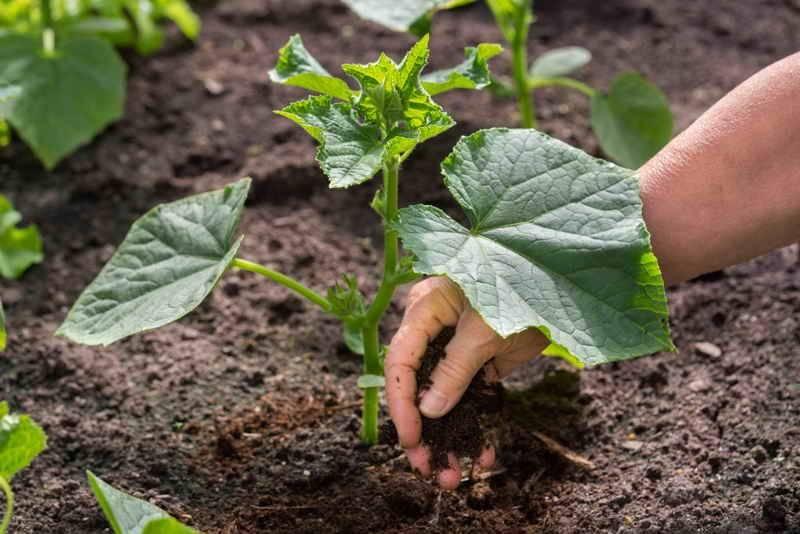 Легкий способ как применять гранулированный навоз как удобрение