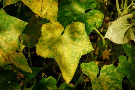 Почему желтеют листья огурцов и как исправить ситуацию