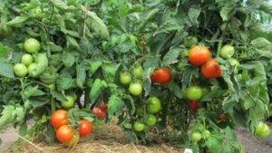 """Томаты-""""гномы"""" для мини-огорода: 15 сортов с описанием и фото"""