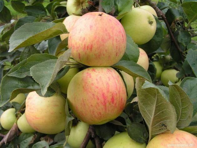 Яблоня подарок графскому: особенности сорта и ухода