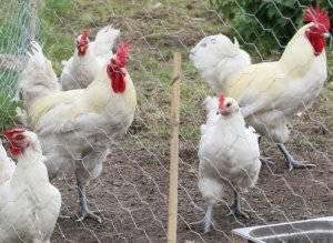 Бресс галльская порода кур