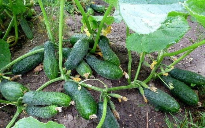 Огурец лютояр: характеристика и описание сорта, урожайность с фото