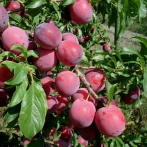 Почему слива сбрасывает зеленые плоды и что делать