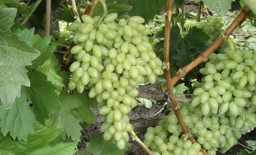 Описание винограда кишмиш