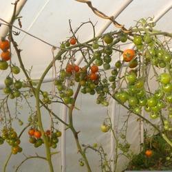 Томат дюймовочка характеристика и описание сорта выращивание и фото