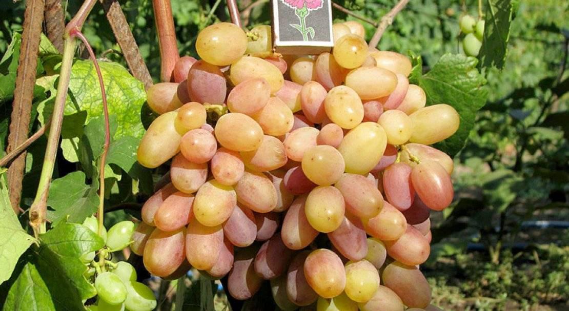 Описание и характеристика винограда сорта виктор, плюсы и минусы, выращивание