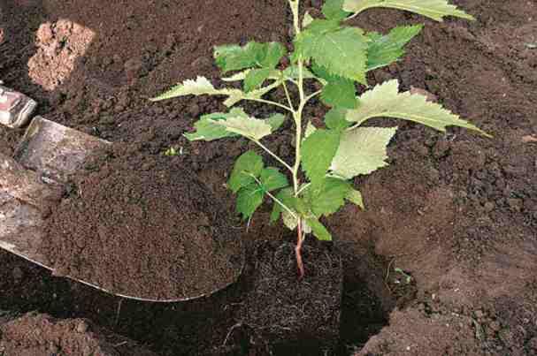 Правильная пересадка малины на новое место весной — советы опытных садоводов