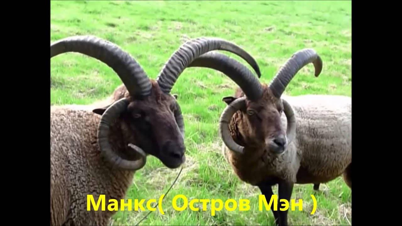 Кто является родоначальником домашней овцы?