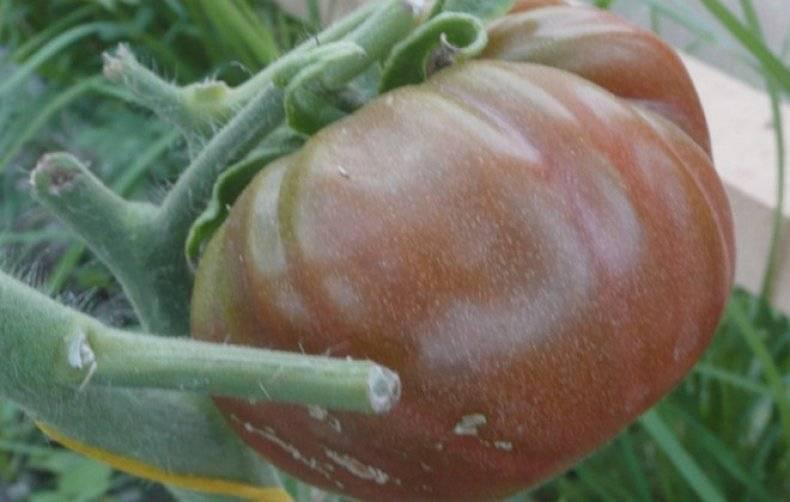 Сортовая характеристика томата черномор