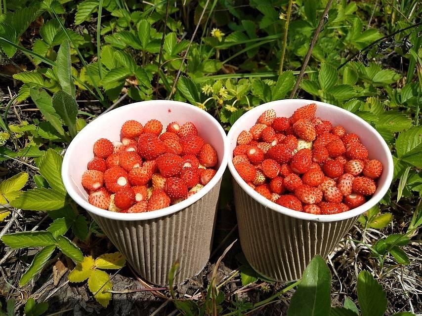 Инструкция по уходу за малиной летом для начинающих и советы бывалых садоводов