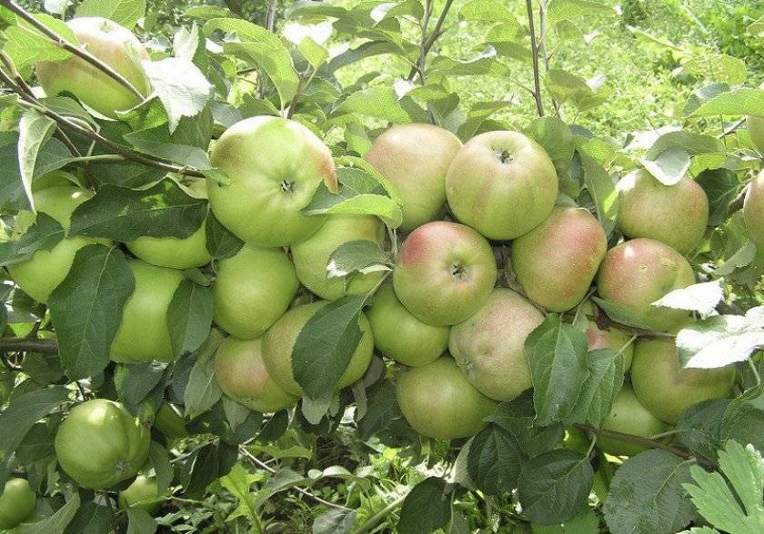 Прекрасная яблоня память ульянищева