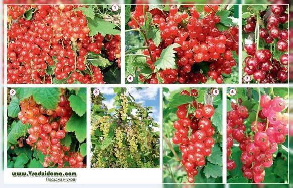 Выращивание красной смородины – пошаговая инструкция