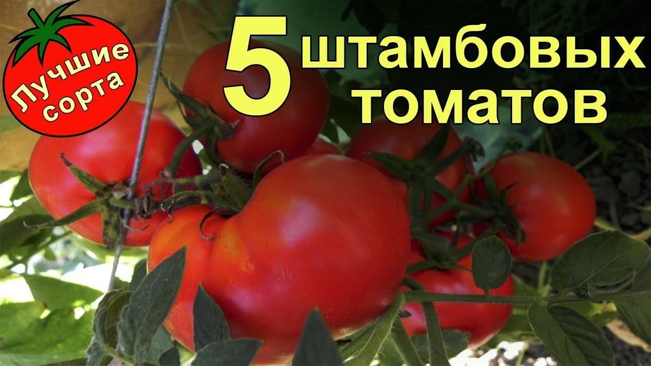Что такое штамбовые томаты, лучшие сорта для открытого грунта и теплиц