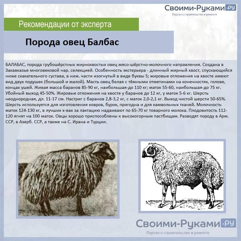 Разведение овец: описание лучших пород, создание условий для содержания