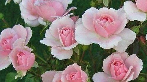 Как вырастить полиантовую розу из семян в домашних условиях?