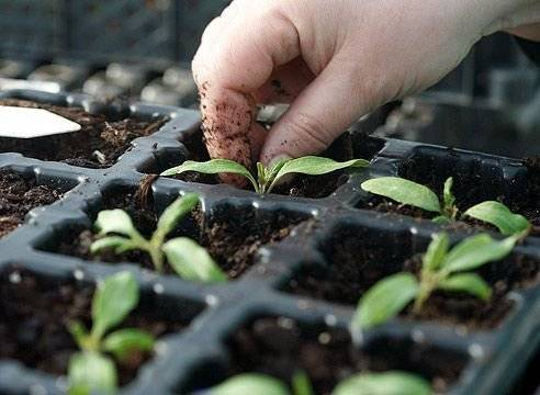 Рассада помидоров желтеет: причины, что делать. если желтеют листья у рассады помидоров: пересадить, подкормить … что ещё?