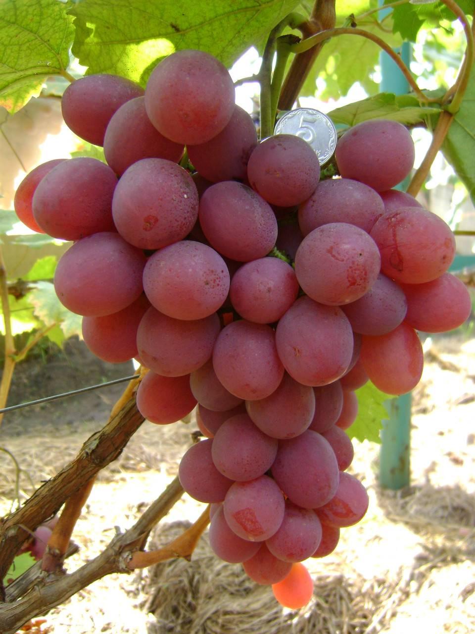 виноград цветной описание сорта фото